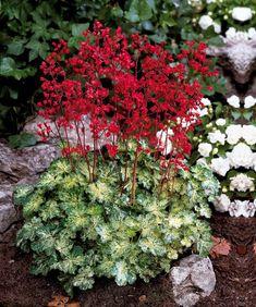 Arbre Aux Gentianes Jardiland Impressionnant Images Geranium Vivace Plantes Pinterest