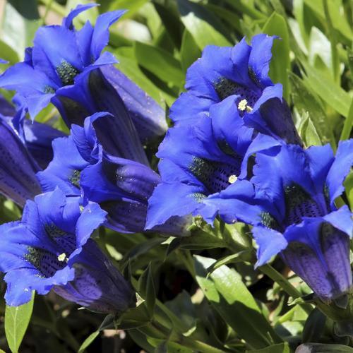 Arbre Aux Gentianes Jardiland Inspirant Galerie Plante D Ombre Fleurie Plantes Pour Jardini Res L 39 Ombre Balayage
