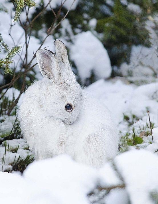En Perdre son Lapin Unique Image Lapin Blanc Dans La Neige La Montagne Insolite