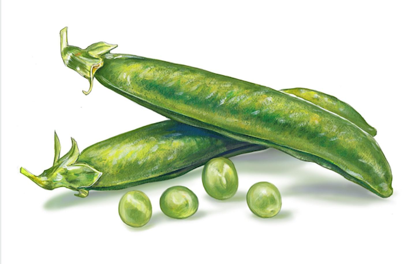 Haricots Verts Dessin Inspirant Photos Illustration Québec Jocelyne Bouchard Emballage