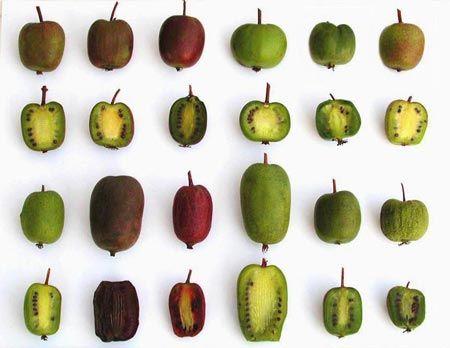 Jardin De Kiran Luxe Stock Tropicalfruit sorrel
