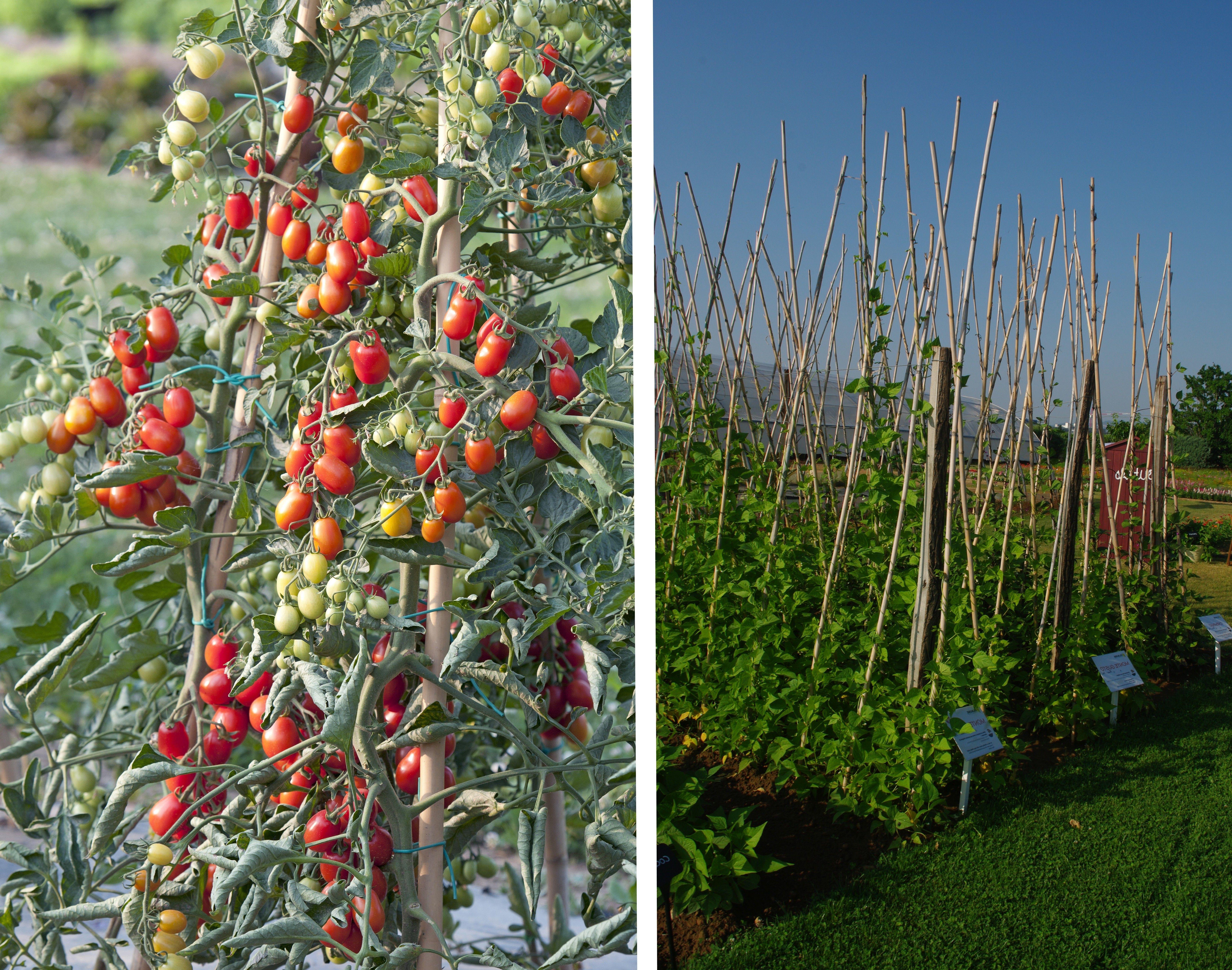 Jardin Secret Cannes Meilleur De Galerie Les Italiens Utilisent Des Cannes Pour Faire Grimper Les tomates
