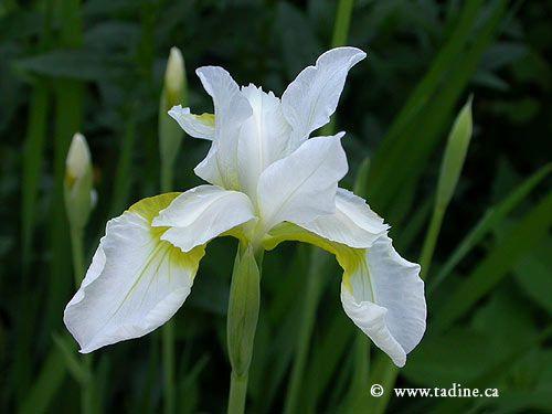 Les Jardins De Tadine Luxe Collection Iris Sibirica Blanc Jardin Pinterest
