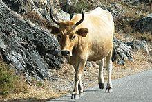 Peau De Vache Synonyme Meilleur De Galerie Corse — Wiktionnaire