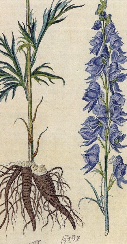 Peau De Vache Synonyme Nouveau Images L Aconit Napel Aconitum Napellus Pinterest