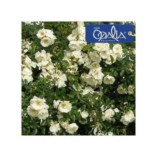 Voile Hivernage Botanic Frais Collection Décorosier Opalia Pot De 5 Litres Gamm Vert