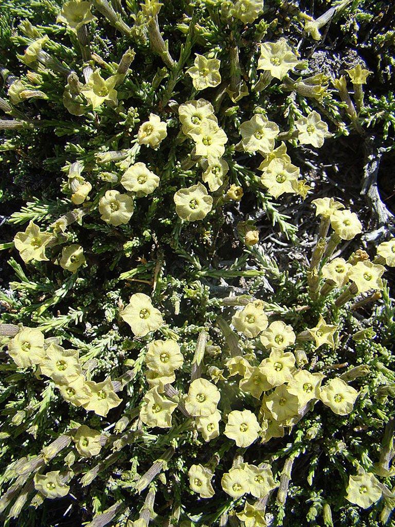 Voile Hivernage Botanic Impressionnant Photos Fabiana Planter Et Entretenir – Ooreka