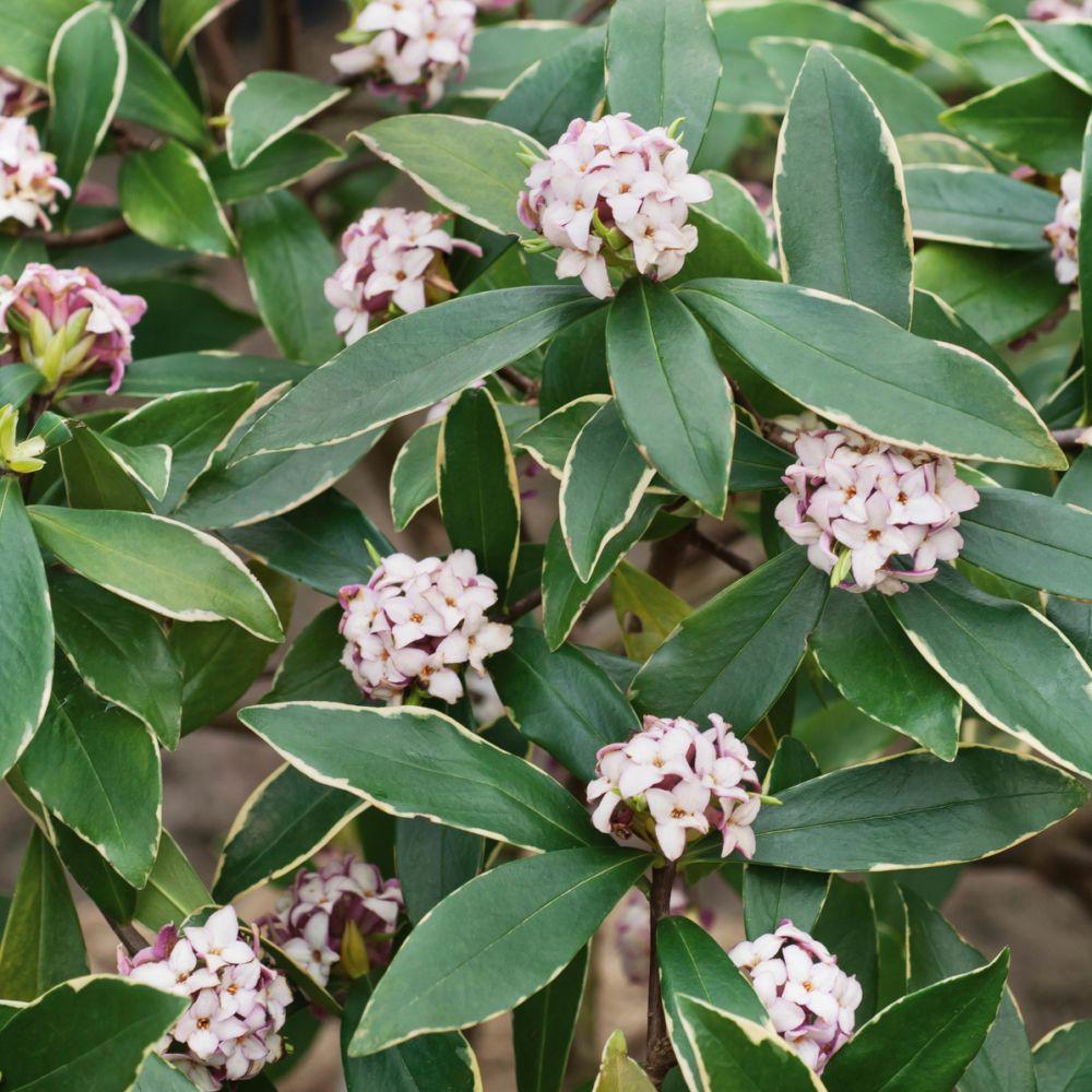 Voile Hivernage Botanic Inspirant Photos Daphné Parfumée Aureomarginata Pot De 7 5 Litres Gamm Vert