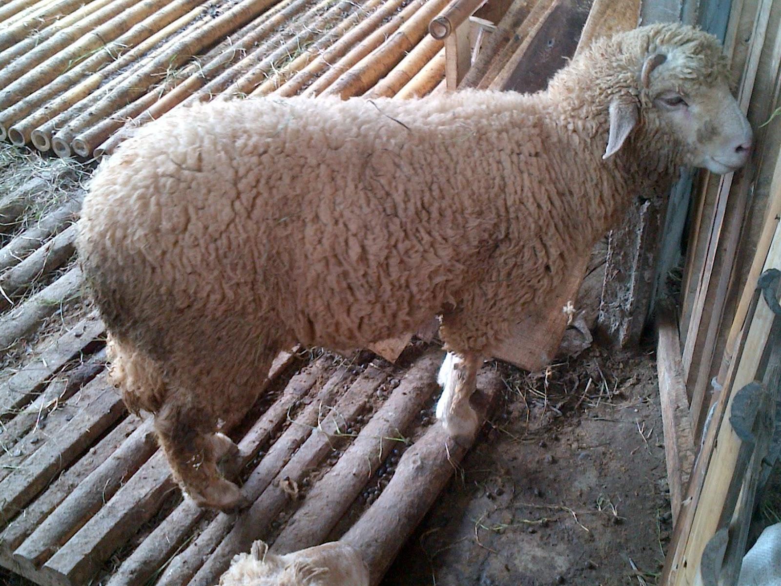 0815-7804-5670 - Penataran Peternakan Domba February 2021 intended for Gambar Domba Banyak