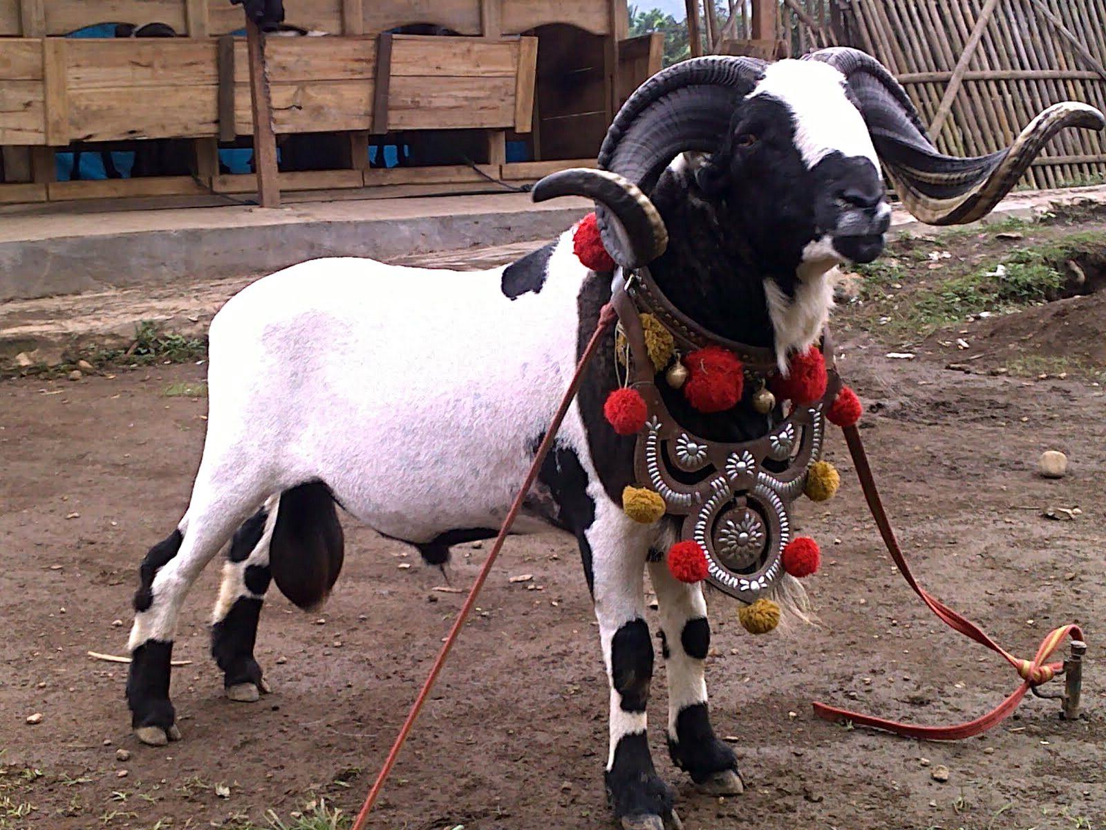 10+ Ide Domba Garut | Domba, Kambing, Seni Tradisional inside Gambar Domba Diadu