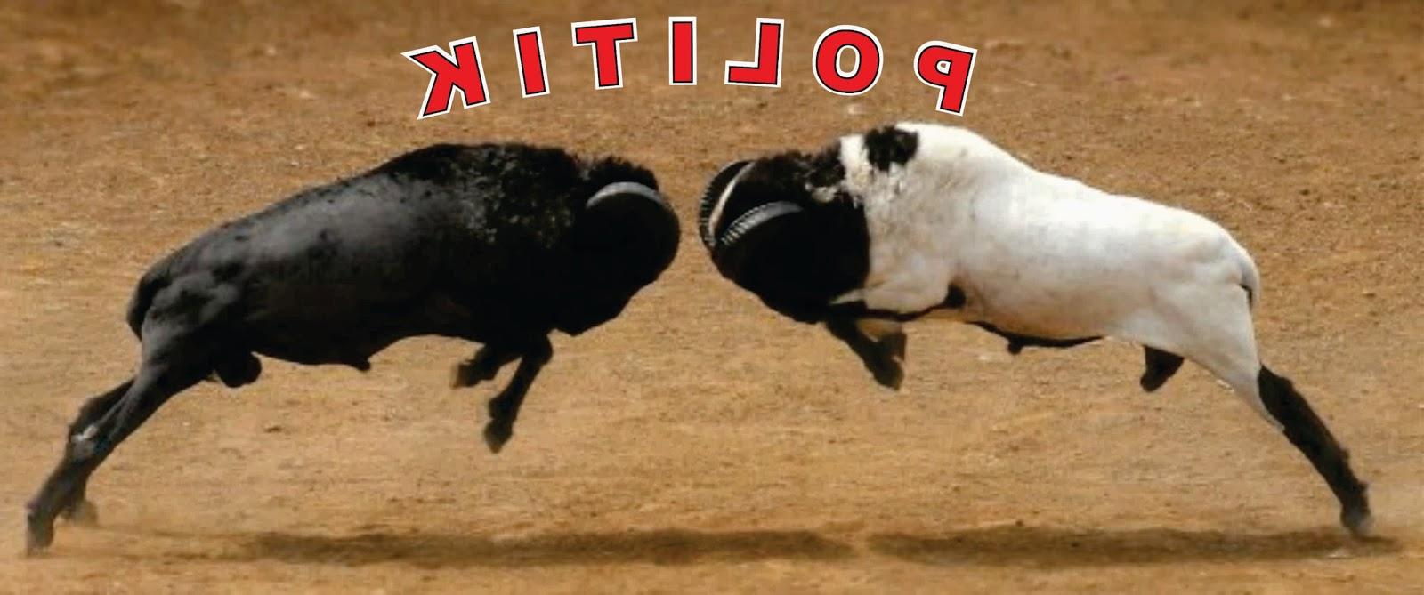 Adakah Politik Adu Domba Di Mimika Saat Ini?   Salam Papua within Gambar Domba Diadu