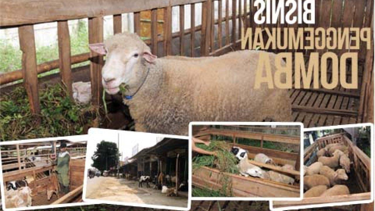 Agromedia | Untung Besar Dari Penggemukan Domba   Agromedia regarding Gambar Domba Banyak