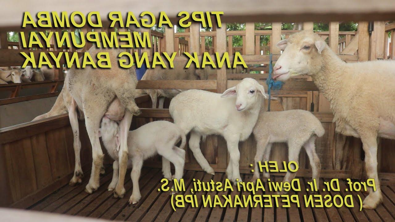 Bagaimana Cara Membuat Domba Agar Memiliki Anak Banyak? Spesial Info Dari  Pakar Peternakan with Gambar Domba Banyak