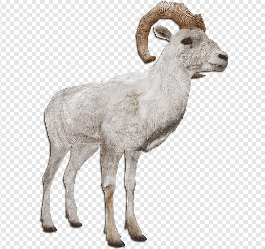 Barbary Sheep Kambing Argali Hewan Ternak: Domba, Domba for Gambar Domba Png