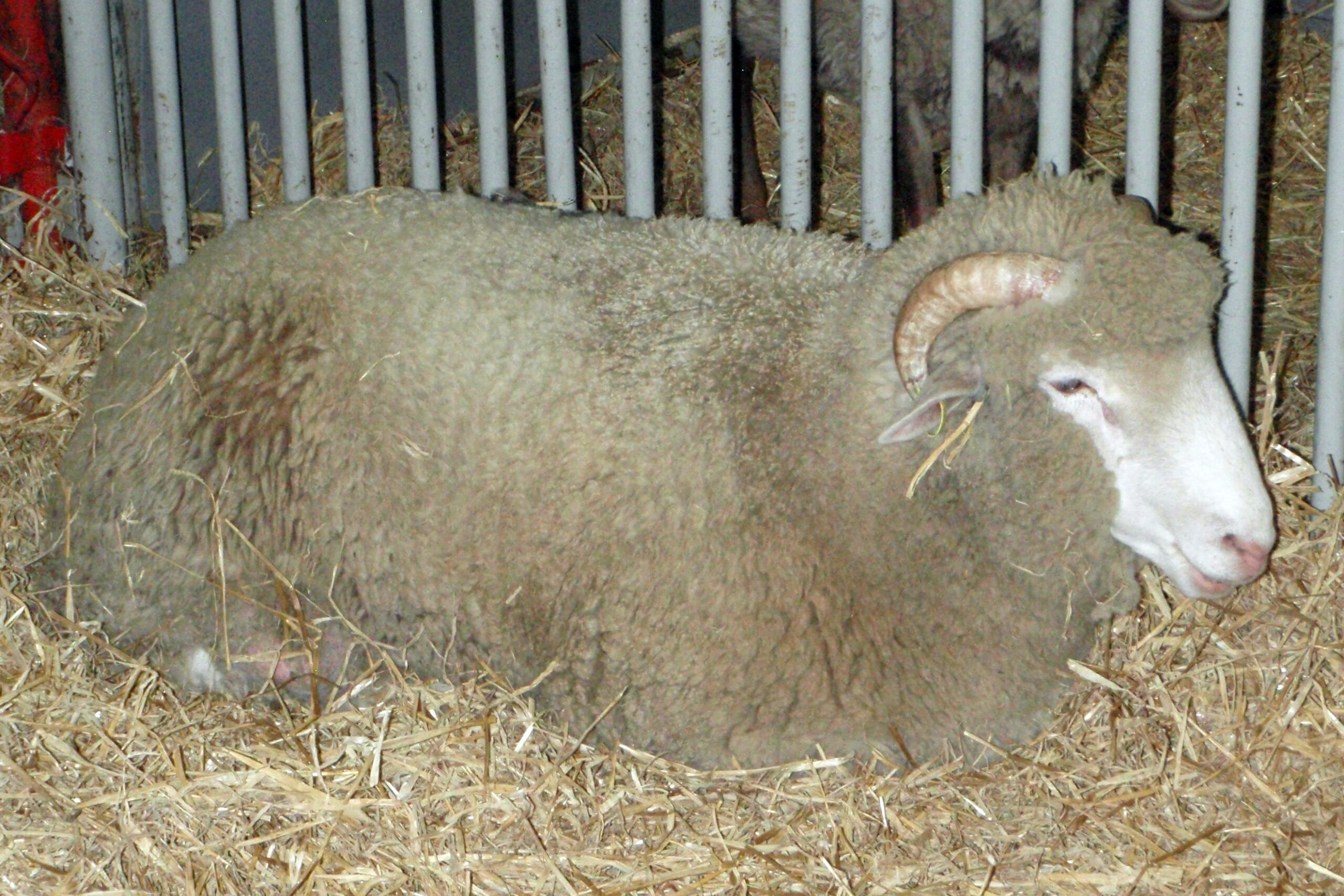 Berkas:dorset Sheep   Wikipedia Bahasa Indonesia pertaining to Gambar Domba Dorset