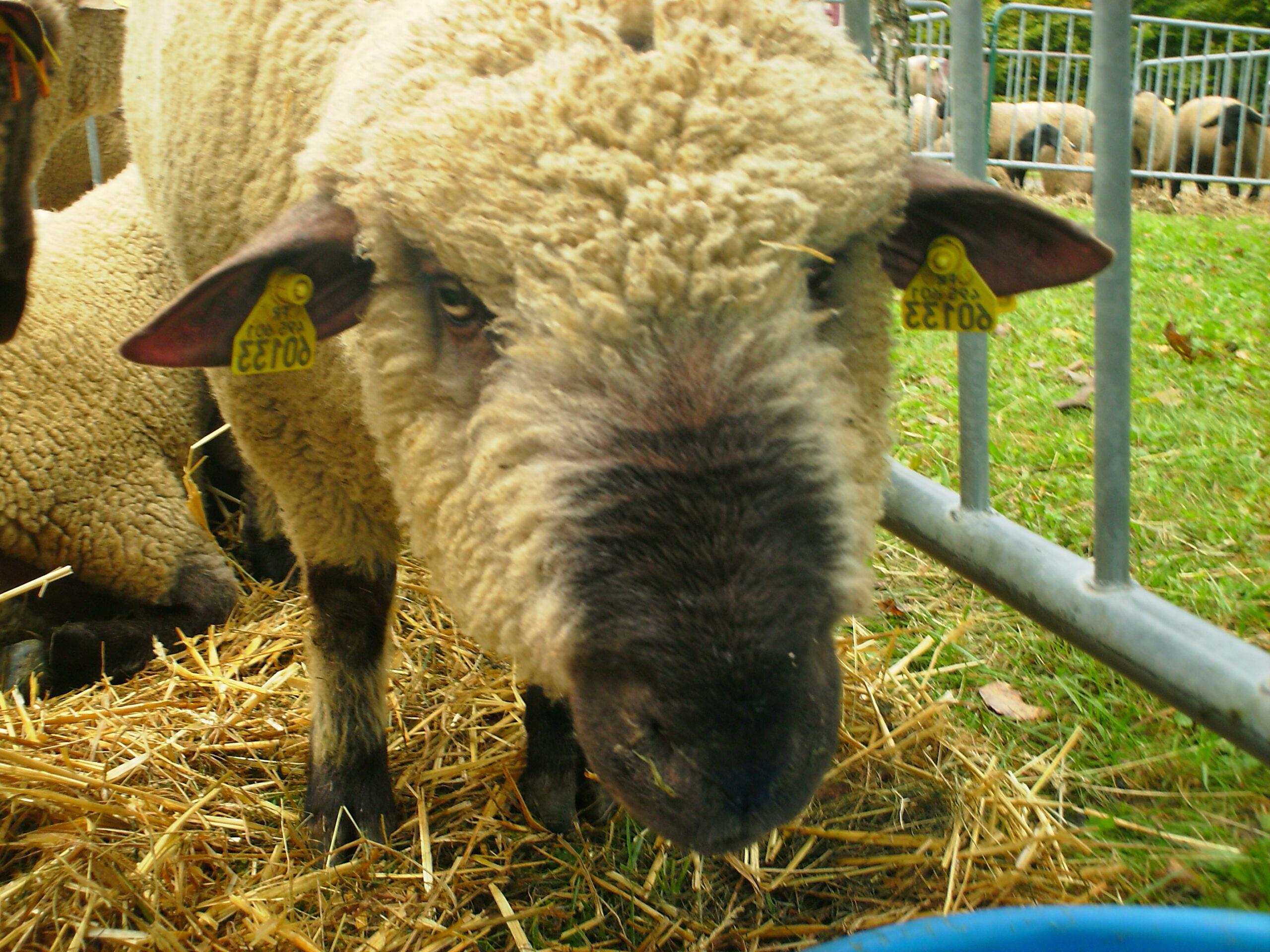 Berkas:mouton Dorset Down   Wikipedia Bahasa Indonesia for Gambar Domba Dorset