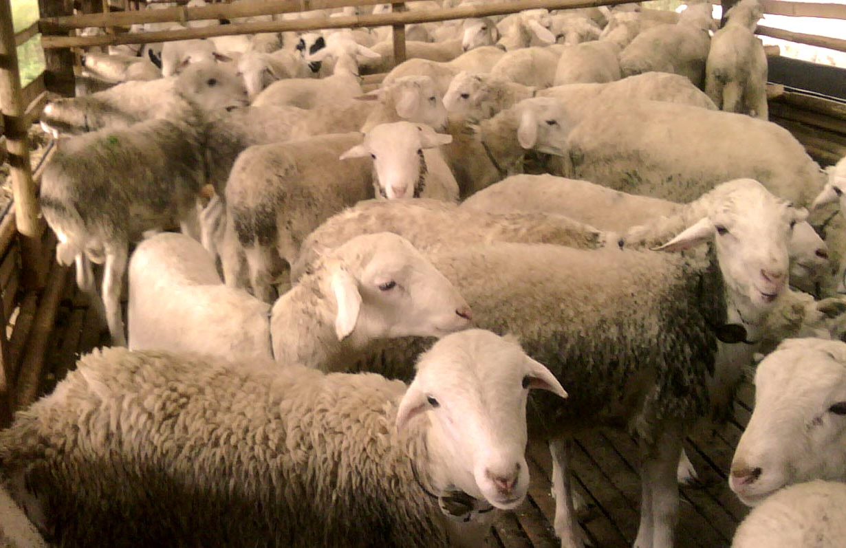 Bisnis Penggemukan Kambing Domba Untuk Qurban, Aqiqah Dan in Gambar Domba Banyak