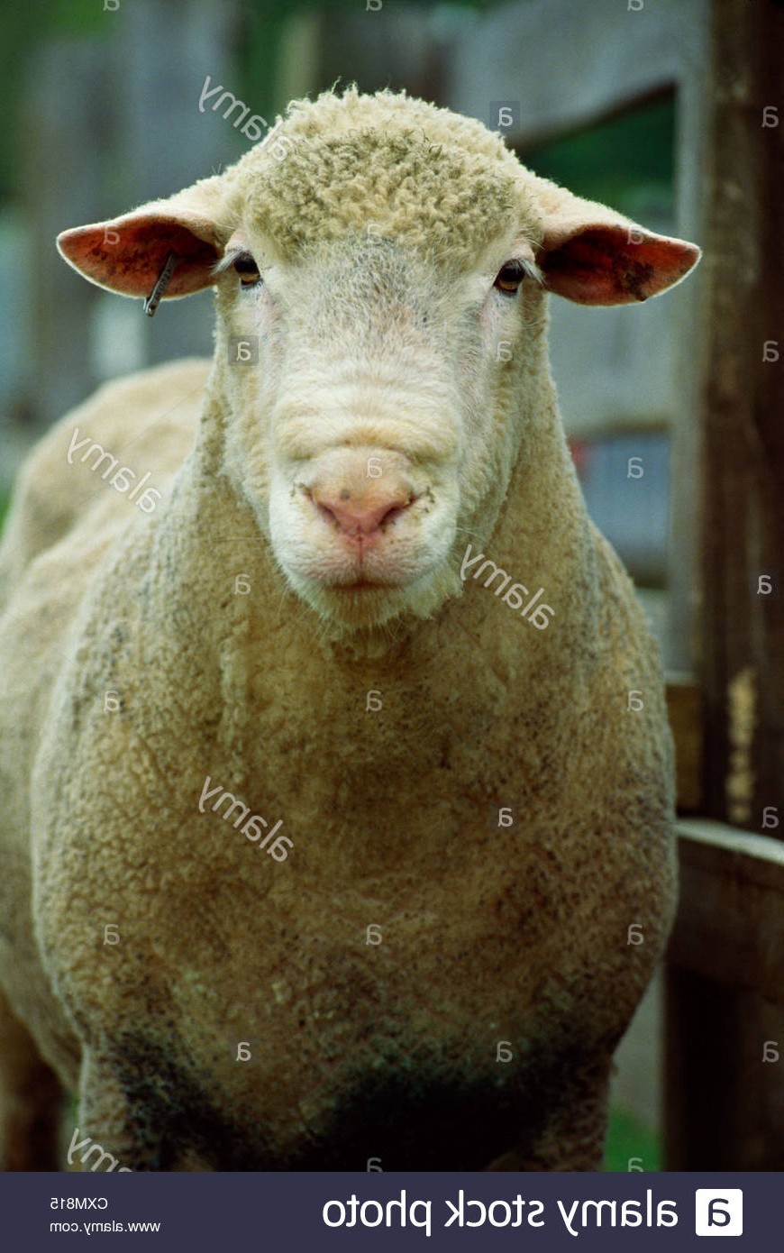 Champion Dorset Ram Stock Photo   Alamy intended for Gambar Domba Dorset