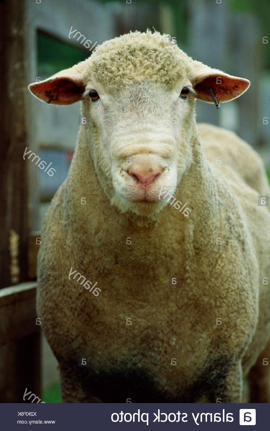 Champion Dorset Ram Stock Photo   Alamy pertaining to Gambar Domba Dorset