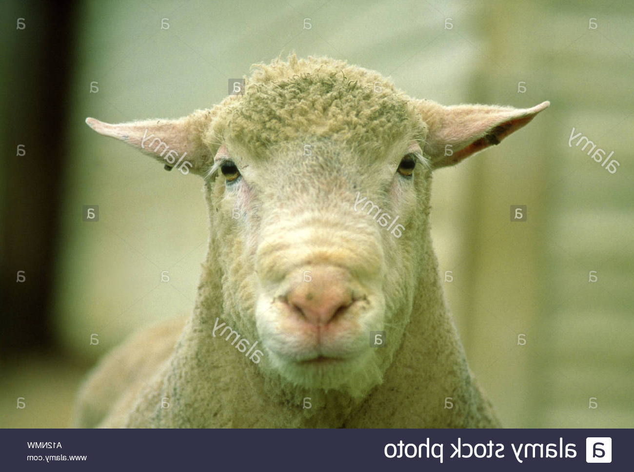 Champion Dorset Ram Stock Photo   Alamy throughout Gambar Domba Dorset