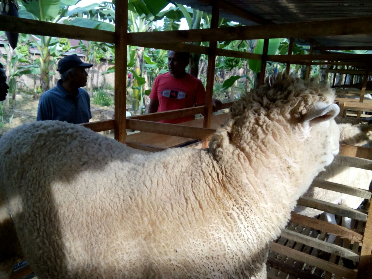 Di Langkat, Ternak Domba Tak Butuh Rerumputan   Halkahalki pertaining to Gambar Domba Makan Rumput