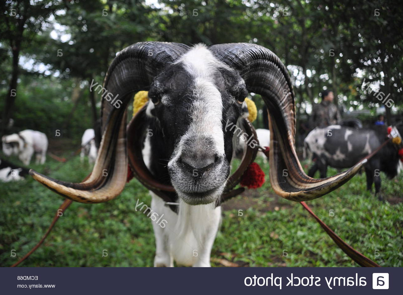Domba Combats De Garut Photo Stock – Alamy in Gambar Domba Hd