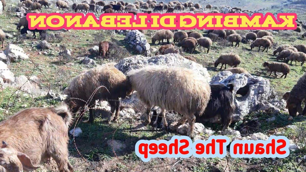 Domba Di Lebanon Banyak Banget   Youtube with Gambar Domba Banyak