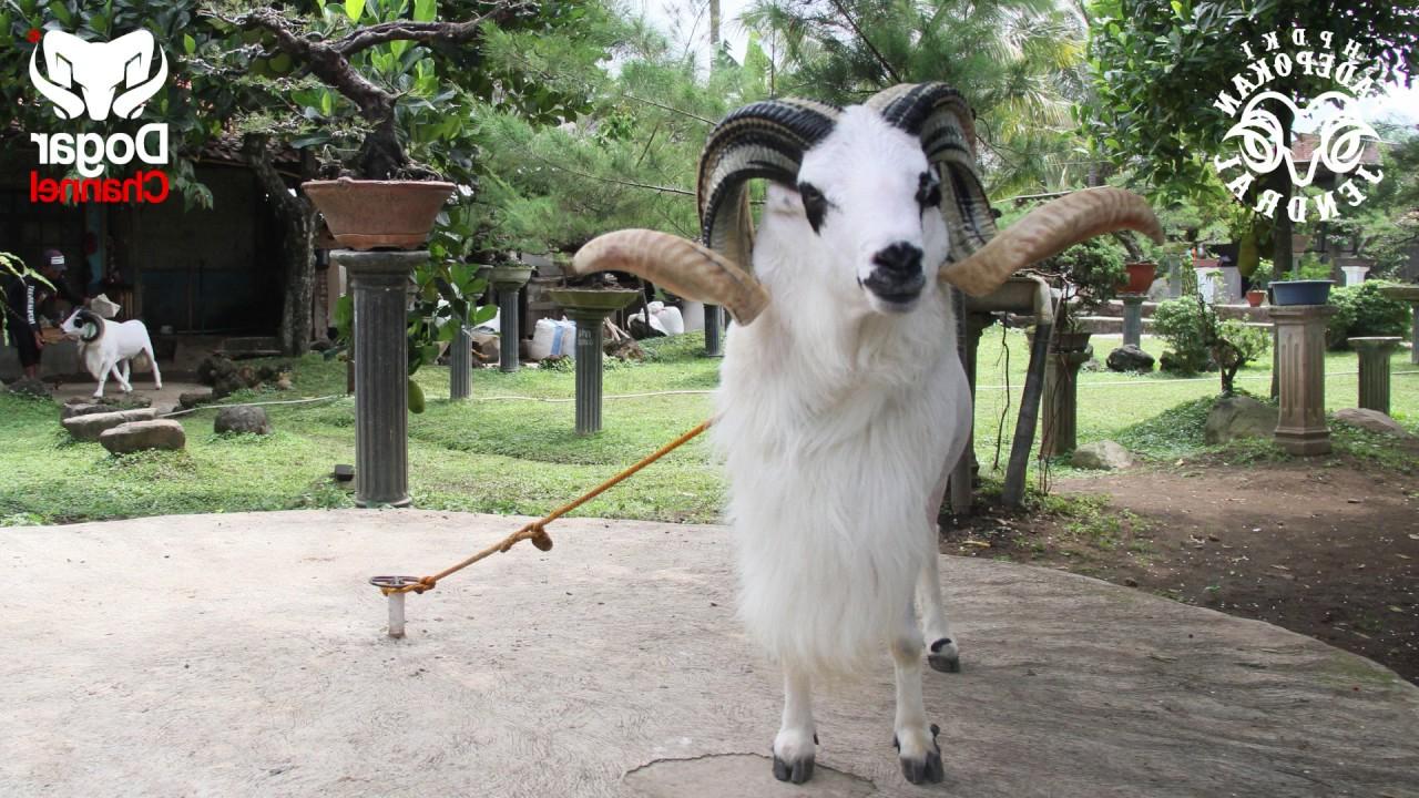 Domba Juara 1 Piala Presiden Ri 2016, Lasminingrat ! regarding Gambar Domba Diadu