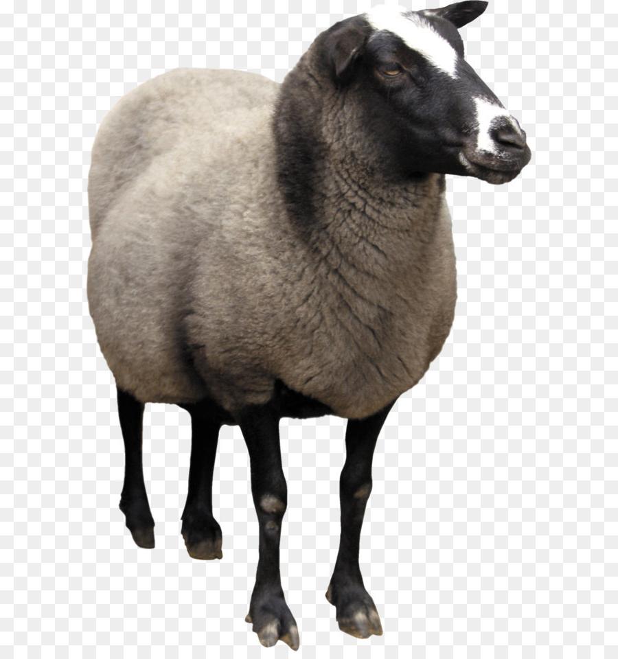 Domba, Kambing, Wol Gambar Png throughout Gambar Domba Png
