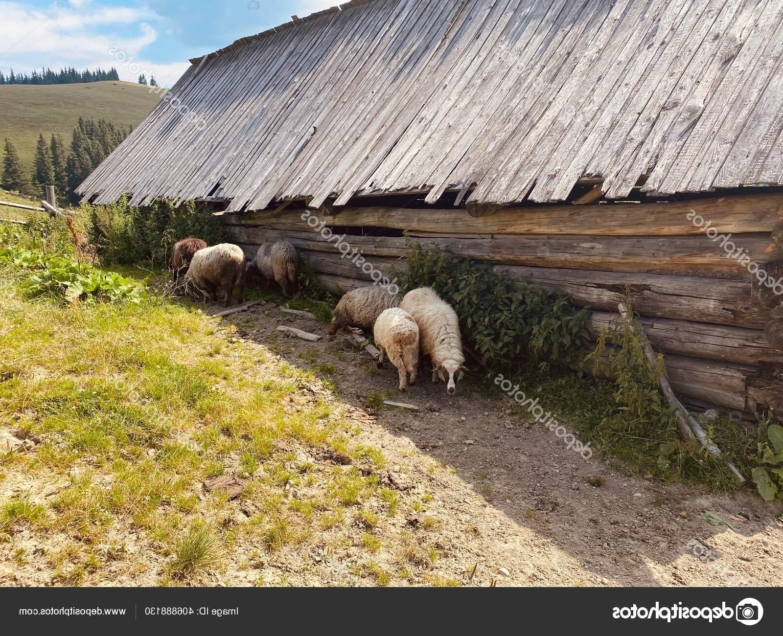 Domba Sebuah Peternakan Makan Rumput Luar Pada Alam — Stok with Gambar Domba Makan Rumput