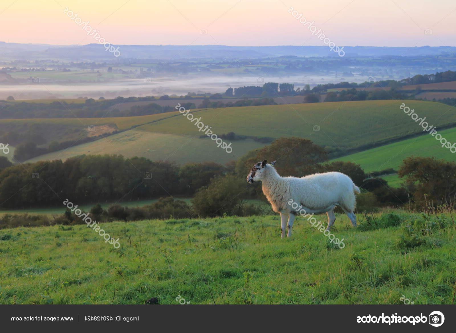 Gambar Domba Dorset