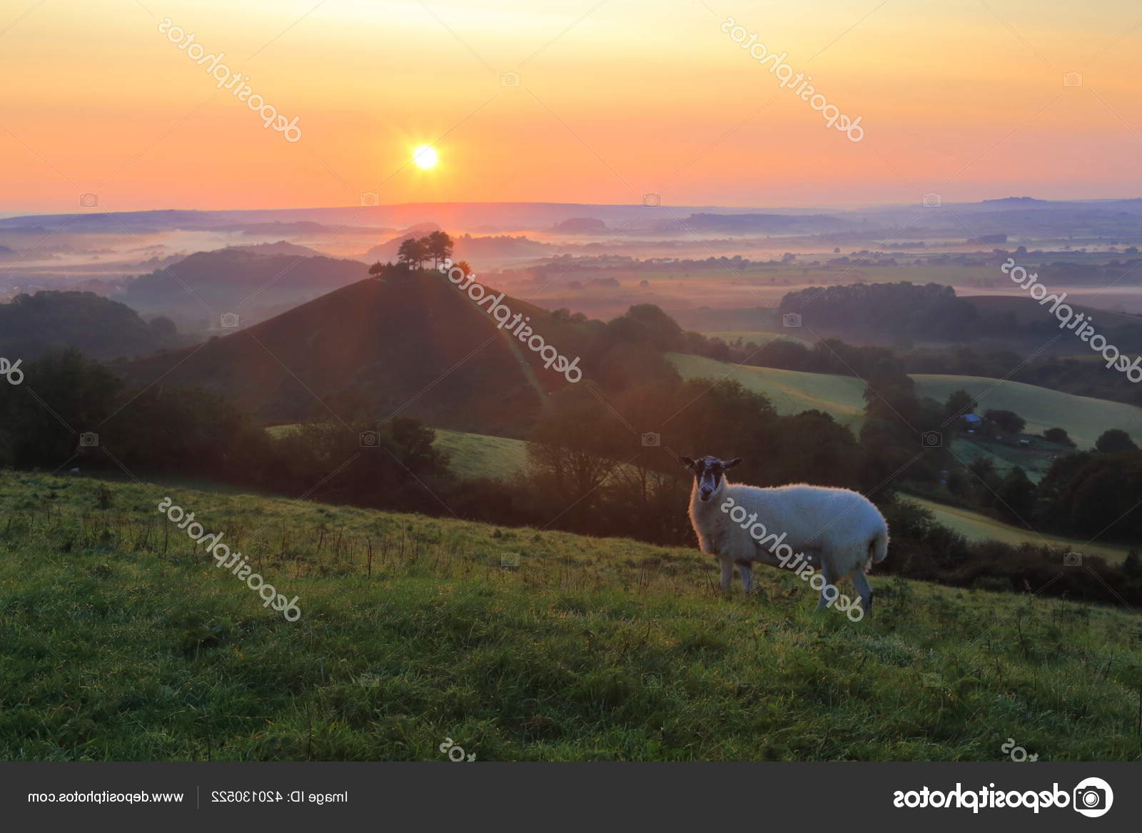 Domba Tanah Pertanian Dorset Saat Matahari Terbit — Stok inside Gambar Domba Dorset
