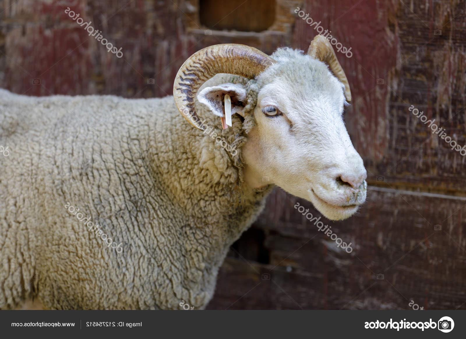 Domestic Sheep (Dorset Horn Breed) Adult. Farm In Northern California, Usa.  212754512 for Gambar Domba Dorset