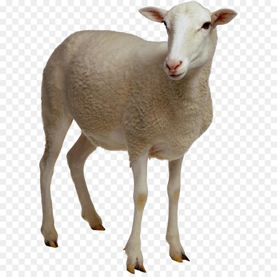 Dorper, Domba Dan Kambing, Dokumen Gambar Png throughout Gambar Domba Png