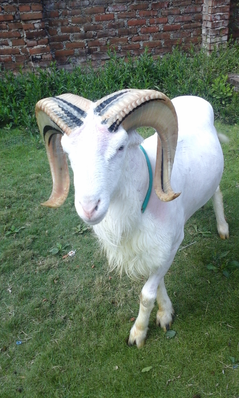 Gambar Domba Diadu