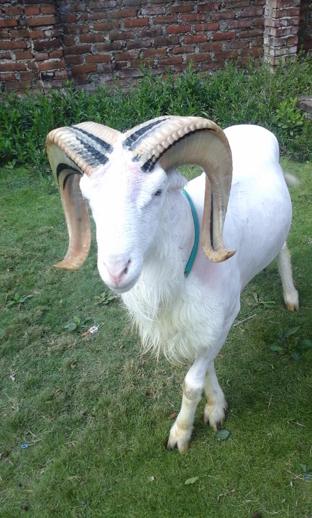 Foto Af Garut Fighting Sheep - Om Husdyrstalde | Domba in Gambar Domba Garut