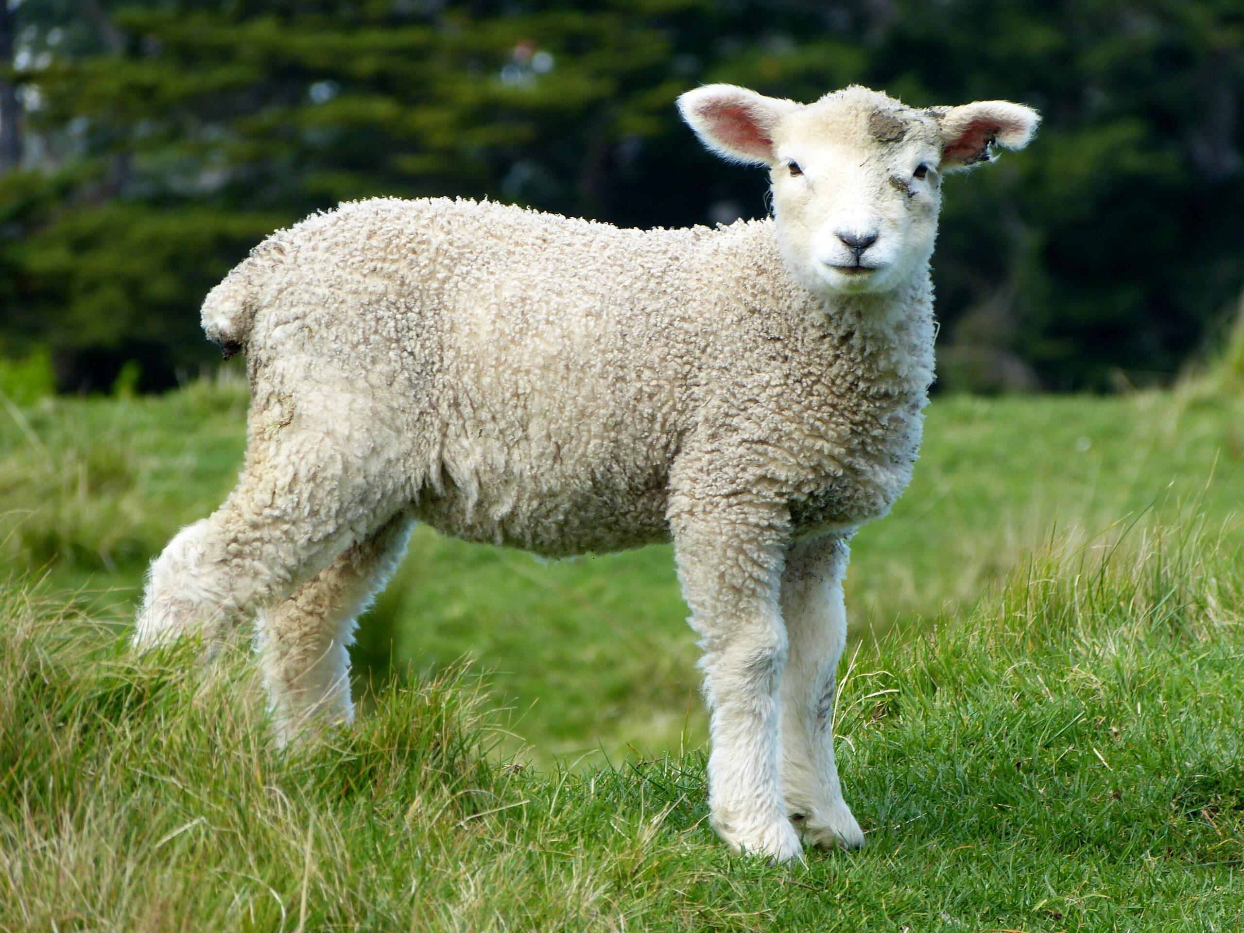 Gambar Domba Hd