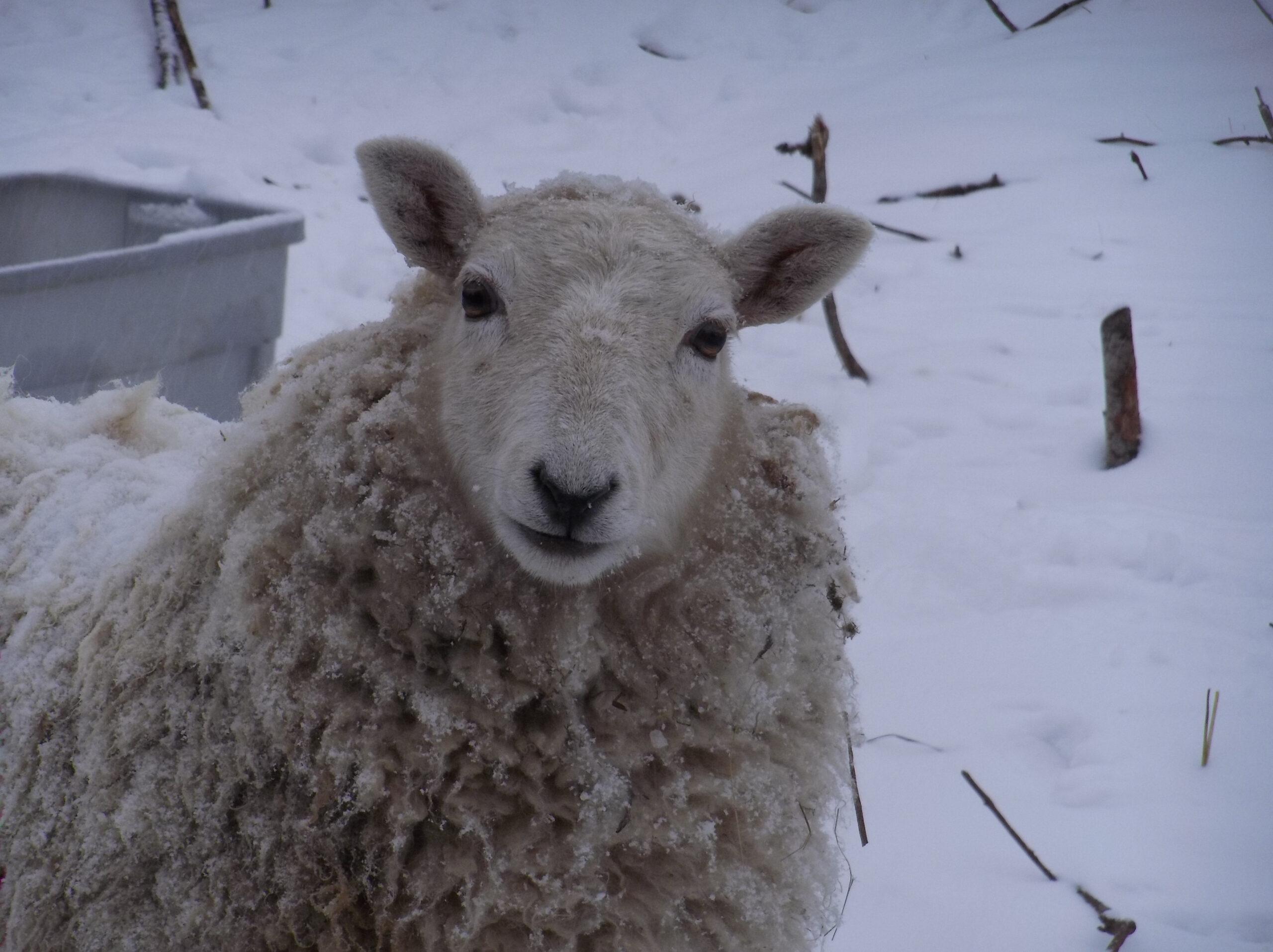 Foto Stok Gratis Tentang Binatang Peternakan, Domba, Dorset within Gambar Domba Dorset