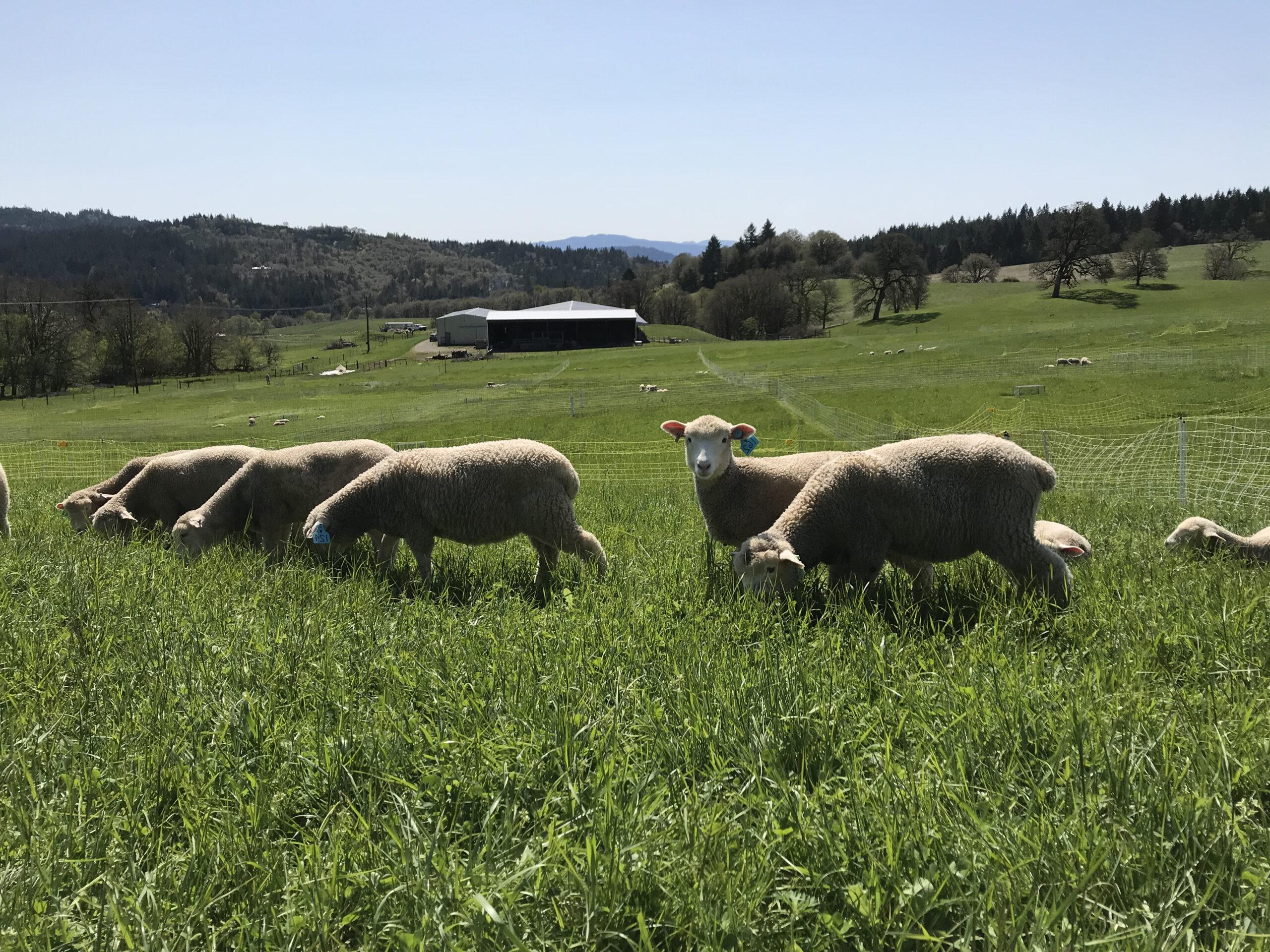 Foto Stok Gratis Tentang Domba, Padang Rumput inside Gambar Domba Hd