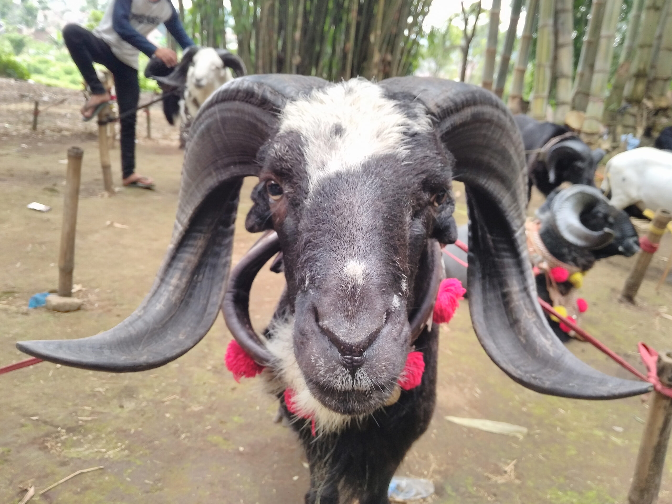 Free Stock Photo Of Adu, Domba, Goat throughout Gambar Domba Diadu