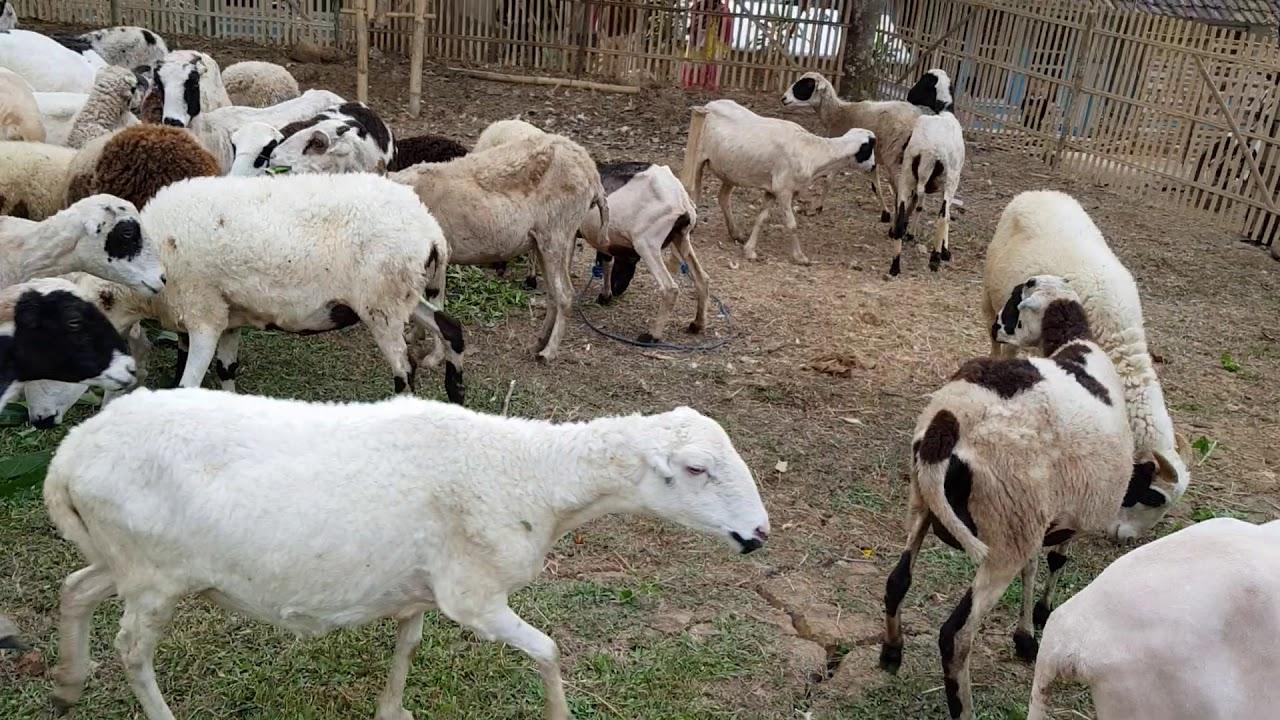 Inilah Cara Kawin Domba Yang Langsung Jadi   Video.sportnk regarding Gambar Domba Hd