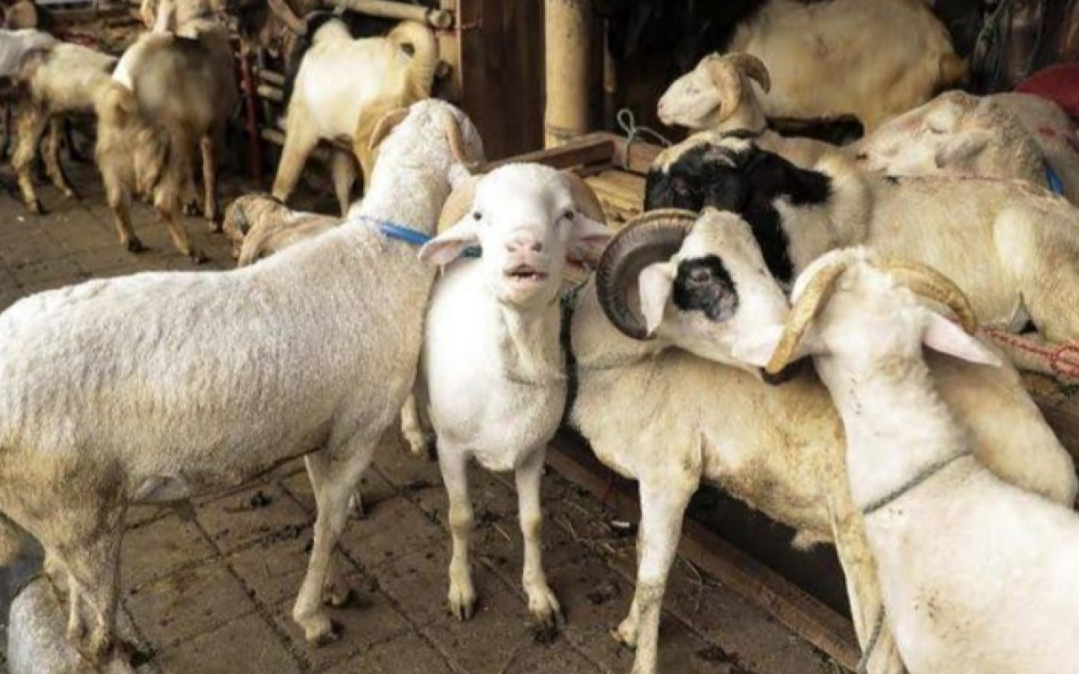 Jelang Idul Adha, Harga Domba Di Garut Merangkak Naik Karena within Gambar Domba Banyak