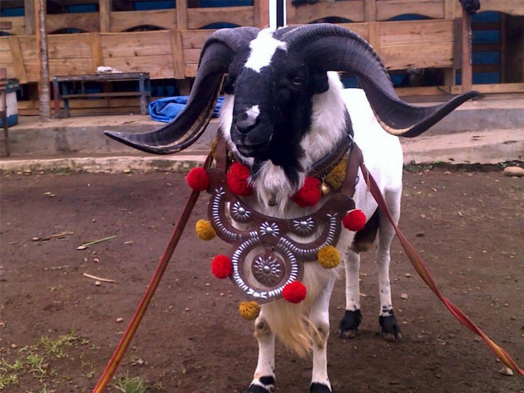 Jenis   Jenis Tanduk Domba Garut within Gambar Domba Diadu