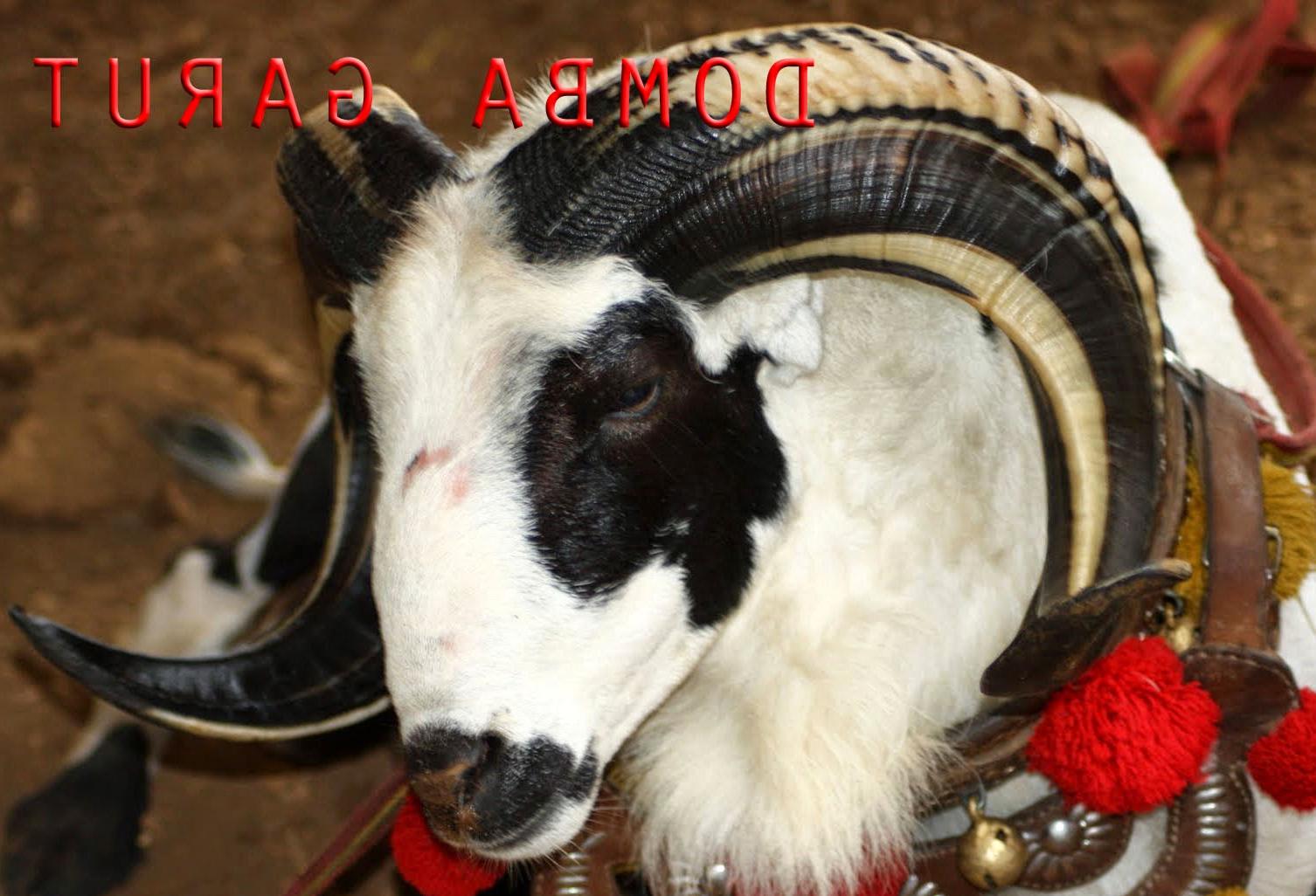 Jual Domba Garut Murah: 9 Ciri Ciri Domba Garut Aduan Hebat in Gambar Domba Diadu