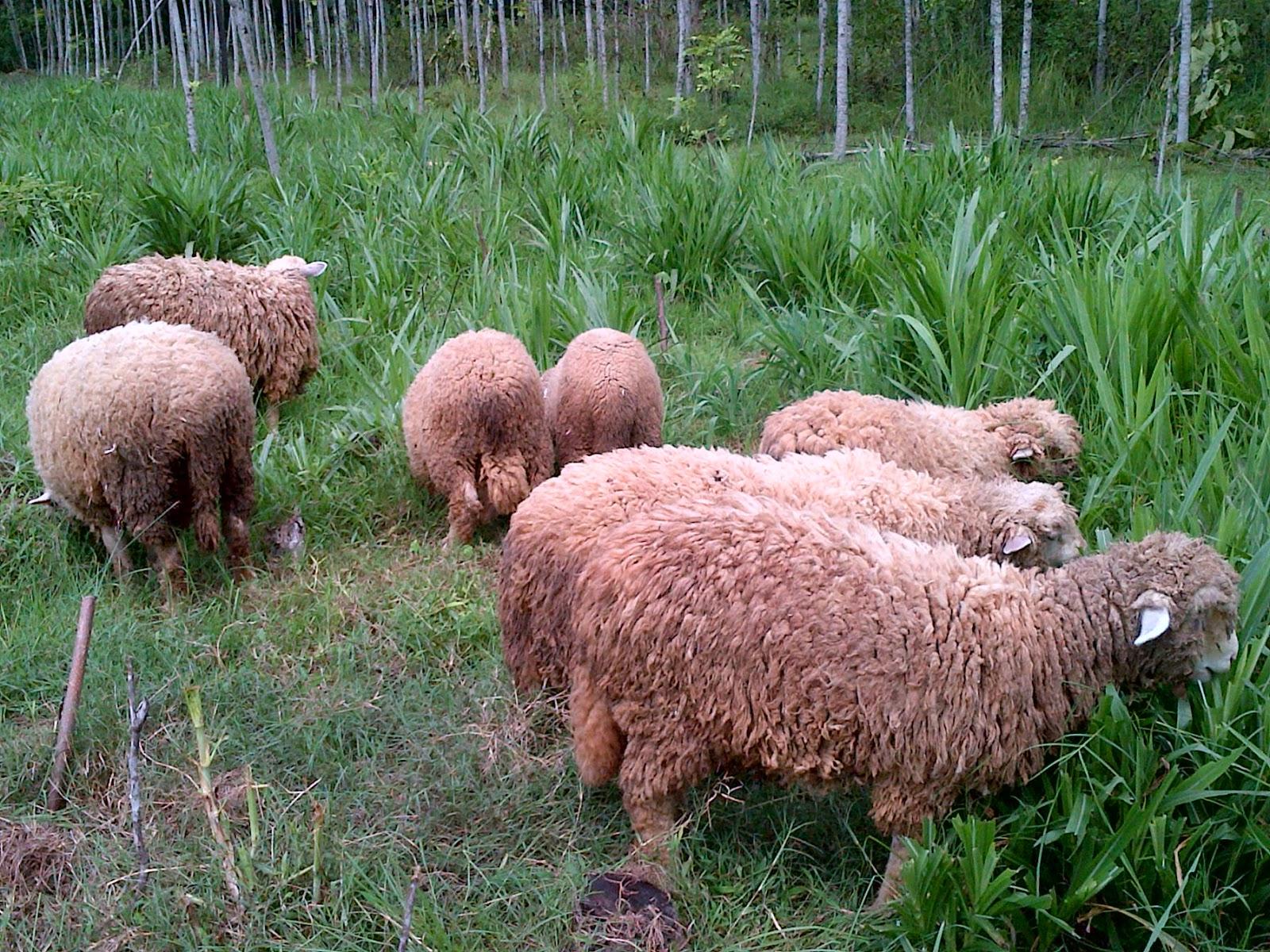 Jual Domba Merino   Peternakan Domba Merino   Budidaya Domba for Gambar Domba Banyak