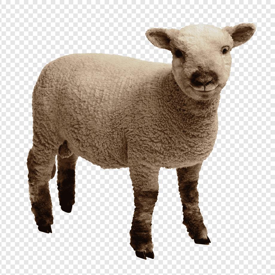 Kambing Merino Wool, Domba Hewan, Hewan, Sapi Keluarga throughout Gambar Domba Png