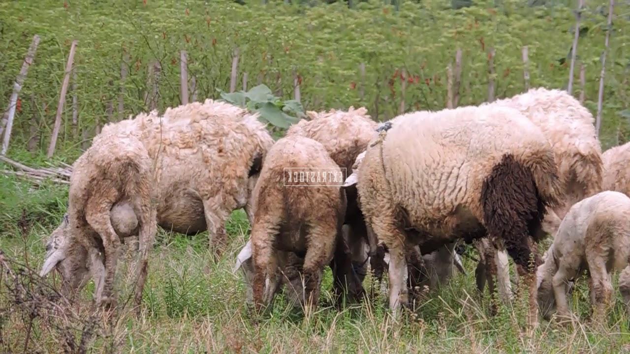 Kambing Sedang Makan Rumput Di Sawah pertaining to Gambar Domba Makan Rumput