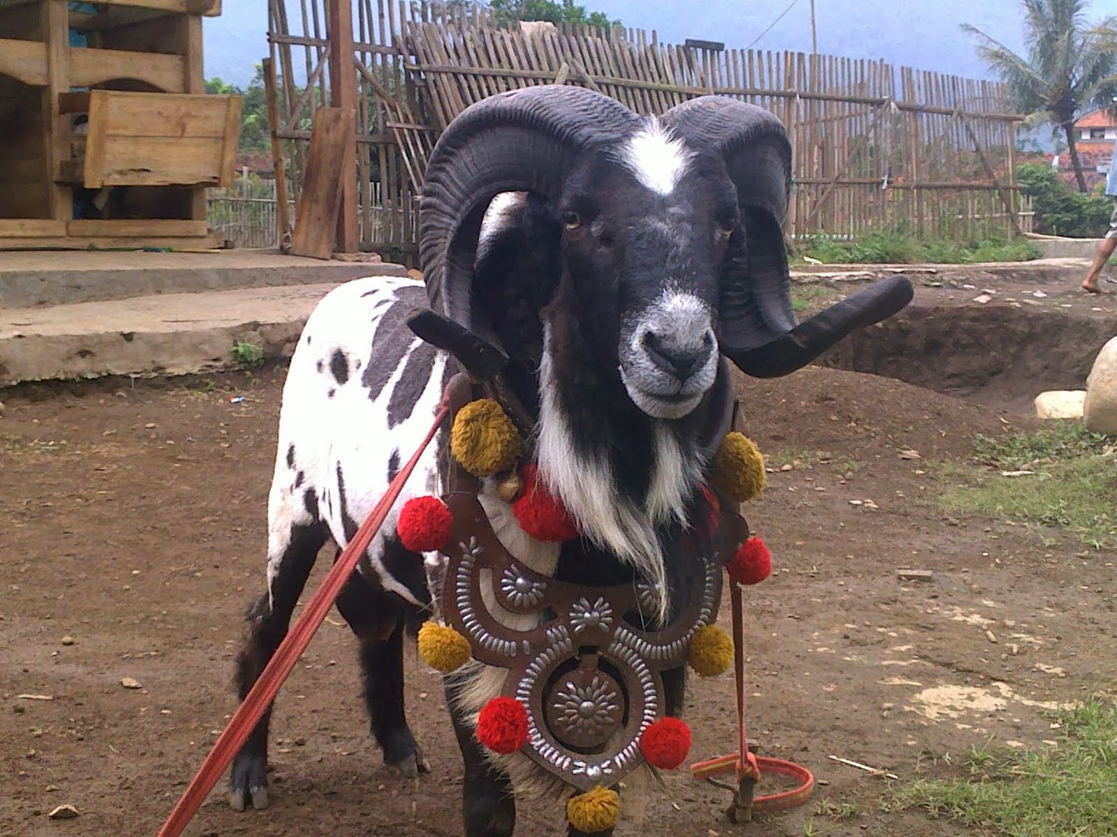 Kesenian Adu Ketangkasan Domba — Steemit throughout Gambar Domba Diadu