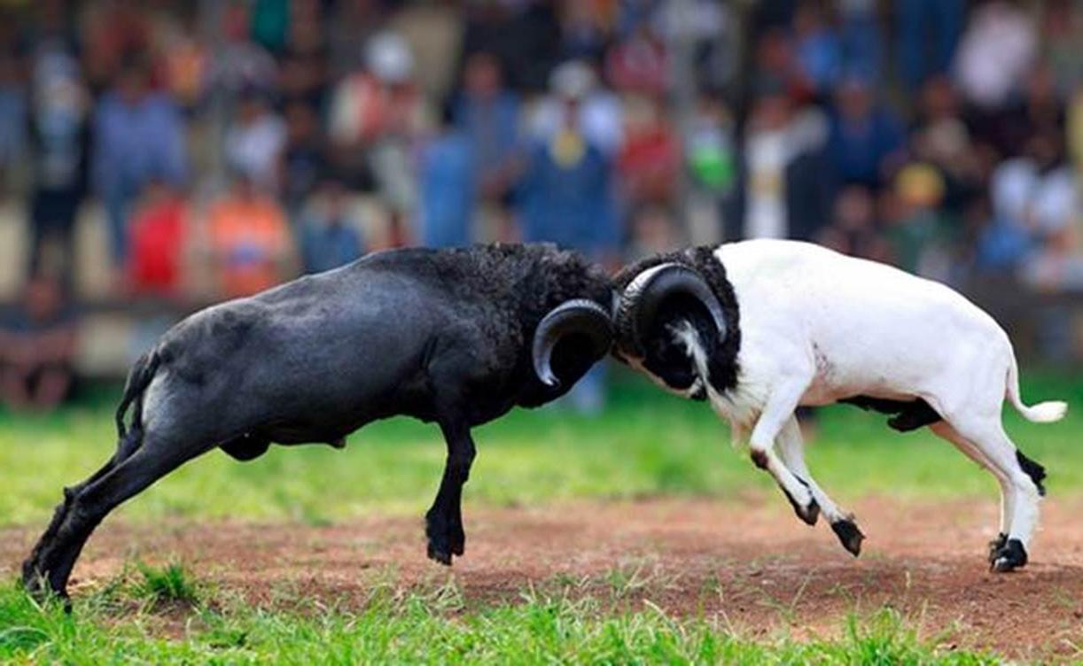 Kisah Adu Domba Paling Menarik Dalam Islam ~ Diedit with Gambar Domba Diadu