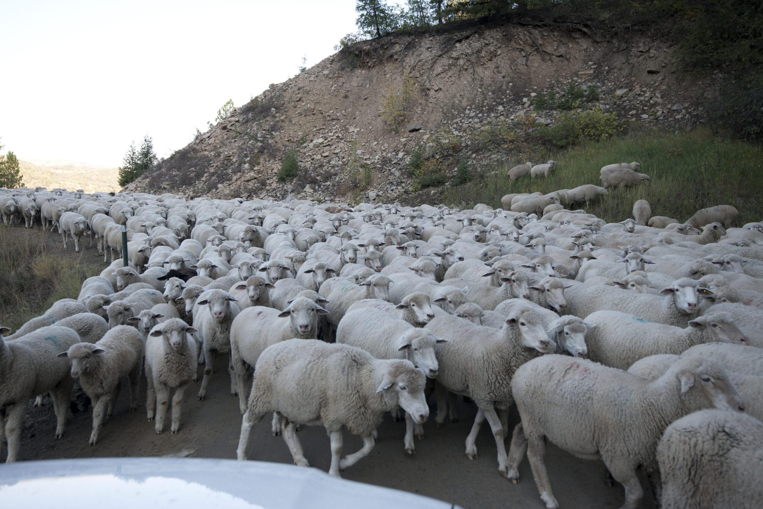 Gambar Domba Banyak